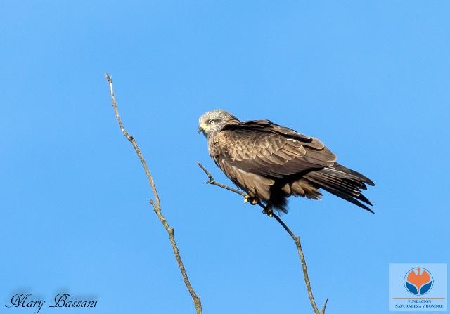 Milano real (Milvus milvus), rapaz protegida por la Directiva Aves.